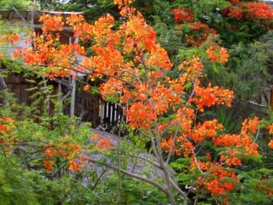 Diesen schönen Baum gibt es oft in Ecuador, aber in Montañita stand er direkt vor unserem Fenster